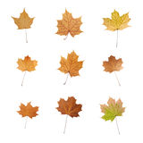 Set of maple leafs isolated Stock Image