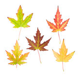 Set of maple leaves Stock Photography