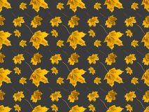 Set of maple leaves. Set of different maple leaves isolated on gray royalty free stock photography