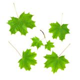 Set of the mapple leaves isolated Royalty Free Stock Photos