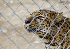 Set Me Free. A forlorn looking amur leopard gazing out of it's enclosure at the zoo Stock Image
