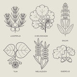 Set of medical plants. Set of vector illustrations of various herbs. Icons of plants to create posters, logos, labels. Healthy lifestyle concept. The herb sage Stock Images