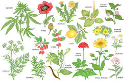 Set of medical plants. Set of vector medicinal herbs, flowers, plants, spices and fruits. Vector illustration. Cannabis and Poppy, dandelion and plantain vector illustration