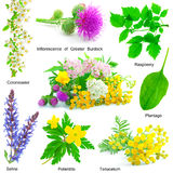 Set of medicative herb Stock Photography