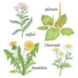 A set of medicinal plants - Chamomile, dandelion, plantain, milf. Chamomile, yarrow, dandelion, plantain, milfoil. Set of herbs for alternative medicine Royalty Free Stock Images
