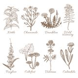Set of Medicinal Plants. Collection in Hand Drawn Style. Vector Illustration of Nettle Chamomile Dandelion Wild Rosemary Foxglove Coltsfoot Valerian Calendula Stock Images