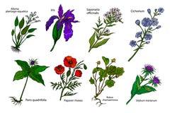 Set of medicinal plants: vector illustration