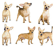 Set of Mini Toy Terriers, isolated Royalty Free Stock Photos