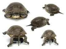 Set of mobile turtle Royalty Free Stock Images