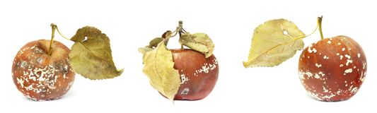 Set of mold growing on the old apple. Isolated on white background photo. Food contamination, bad spoiled disgusting rotten organi. C apple. Messthetics concept stock images