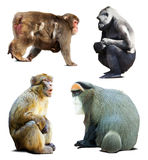 Set of monkeys.  over white Stock Photography