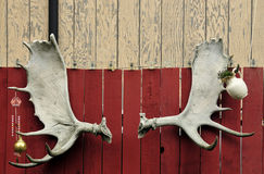 Set of moose antlers. A set of moose antlers on a fence stock photography