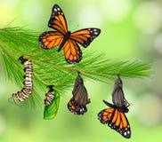 Set Motyli etap życia royalty ilustracja