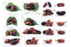 Set of mulberries. Set of eighteen photos of mulberries in different states of ripeness, some alone and some with green leaf, isolated on white Stock Image