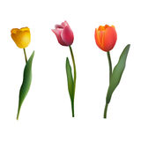 Set of multi-colored tulips on  background. Set of multi-colored tulips on white  background Royalty Free Stock Images