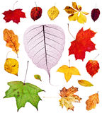 set of multicolored autumn leaves isolated Royalty Free Stock Photo