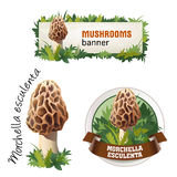 Set of mushroom vector banner, badge, sticker, icon with morel mushroom Royalty Free Stock Images