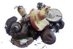 Set of mushrooms Stock Image