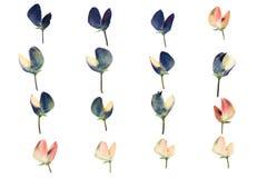 Set naciskający i suszący kwiatu lupine odosobniony Obrazy Stock