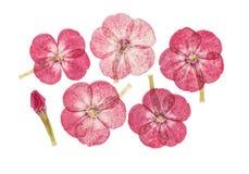 Set naciskający i suszący kwiaty różowi floksa, Fotografia Stock