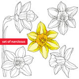 Set of narcissus flower or daffodil  on white background. Floral elements in contour style. Plant is the one of spring symbols Stock Photo