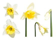 Narcissus flowers and buds isolated. Set of narcissus flowers and buds isolated on white background stock photos