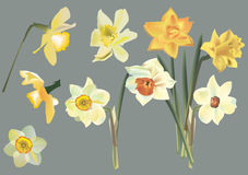 Set of narcissus flowers on grey Royalty Free Stock Images