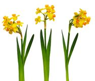 Set of narcissus flowers. Isolated on white background Royalty Free Stock Photos