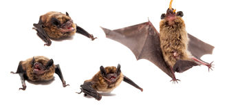 Set of Northern bat on white. Royalty Free Stock Photos