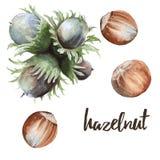 Set nut hazelnuts. Isolated on white background. Watercolor illustration Royalty Free Stock Image