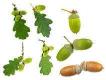 Set of oak leaves and acorns isolated on white Stock Photos