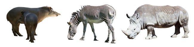 Set of Odd-toed ungulate animals Royalty Free Stock Images