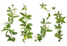 Set odizolowywający pełzacza kwiat Obraz Stock