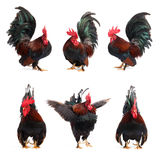 Set odizolowywający kurczaka bantam Zdjęcia Royalty Free