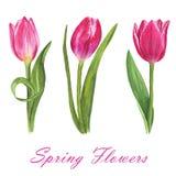 Set odosobneni akwarela tulipany na białym tle Obrazy Royalty Free