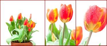 Set odosobneni narastający czerwoni tulipany Zdjęcie Royalty Free