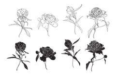 Set odosobniona sylwetki czerni bielu peonia Śliczna ręka rysująca kwiatu wektoru ilustracja ilustracji