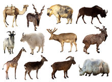 Set Of Artiodactyla Animals Stock Photo