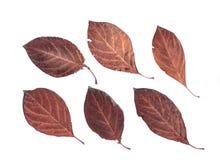 Free Set Of Autumn Leaves Isolated On White Background Royalty Free Stock Image - 60550256