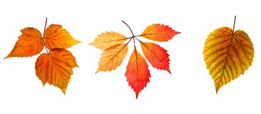 Free Set Of Autumn Leaves On A White Background. An Isolated Object. Stock Photography - 102057502