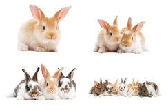 Set Of Baby Bunny Rabbits Stock Image