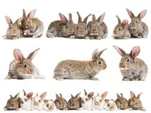 Set Of Brown Baby Rabbits Stock Photos
