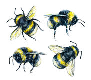 Free Set Of Bumblebees On A White Background. Watercolor Drawing. Insects Art. Handwork Royalty Free Stock Images - 70449849