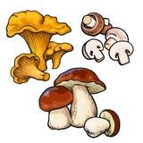 Set Of Chanterelle, Champignon, Porcini Edible Mushrooms Royalty Free Stock Image