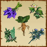 Set Of Different Exotic Flowers And Mandrake Stock Images