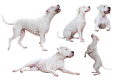Free Set Of Dogo Argentino Royalty Free Stock Photos - 77899478