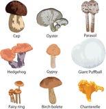 Set Of Edible Mushrooms Royalty Free Stock Photos