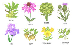 Free Set Of Medical Plants. Stock Photo - 95253390