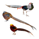 Set Of Pheasant Birds. Isolated Over White Royalty Free Stock Images