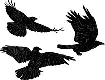 Set Of Three Crows Isolated On White Stock Photography